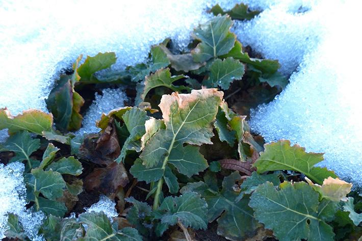 cultivos_congelados